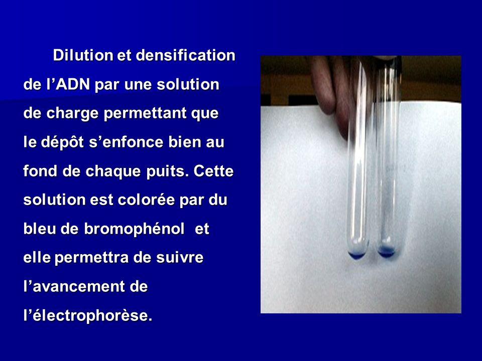 Dilution et densification de lADN par une solution de charge permettant que le dépôt senfonce bien au fond de chaque puits. Cette solution est colorée
