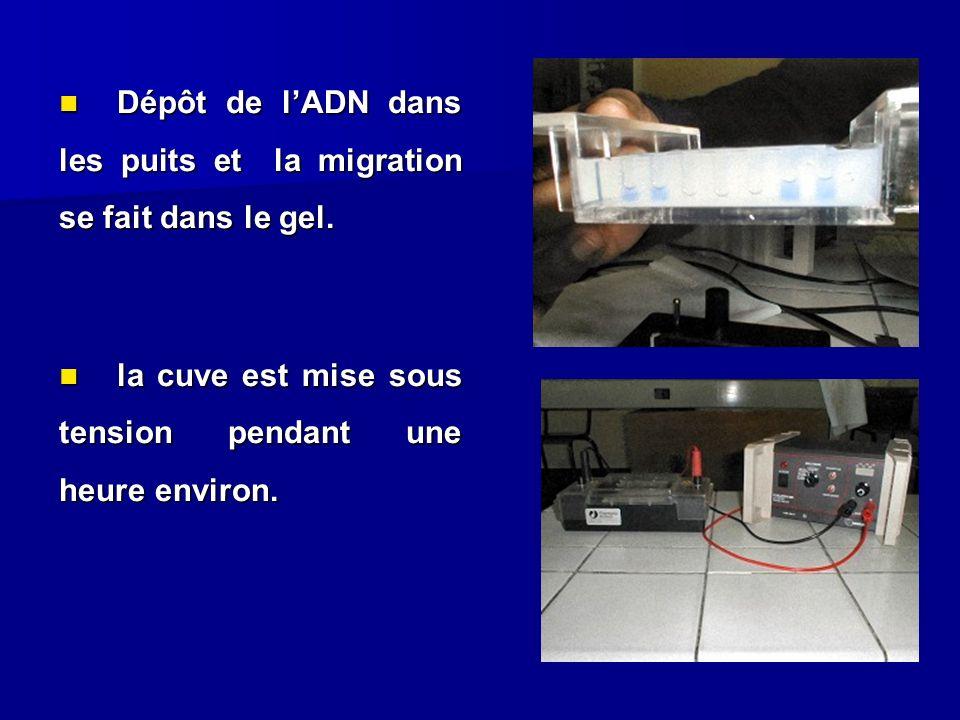 Dépôt de lADN dans les puits et la migration se fait dans le gel. Dépôt de lADN dans les puits et la migration se fait dans le gel. la cuve est mise s
