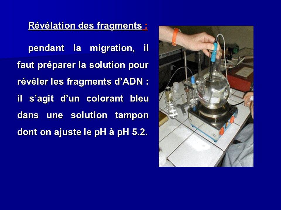Révélation des fragments : pendant la migration, il faut préparer la solution pour révéler les fragments dADN : il sagit dun colorant bleu dans une so