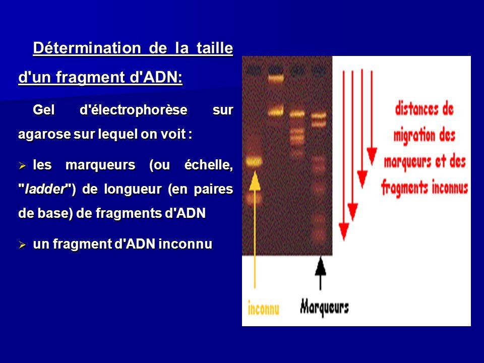 Détermination de la taille d'un fragment d'ADN: Gel d'électrophorèse sur agarose sur lequel on voit : les marqueurs (ou échelle,