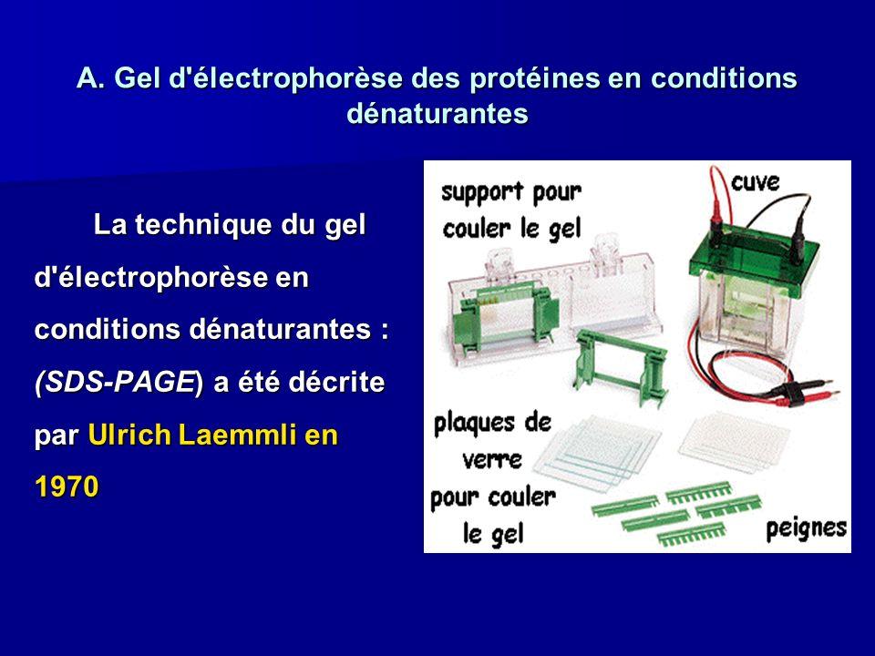A. Gel d'électrophorèse des protéines en conditions dénaturantes La technique du gel d'électrophorèse en conditions dénaturantes : (SDS-PAGE) a été dé
