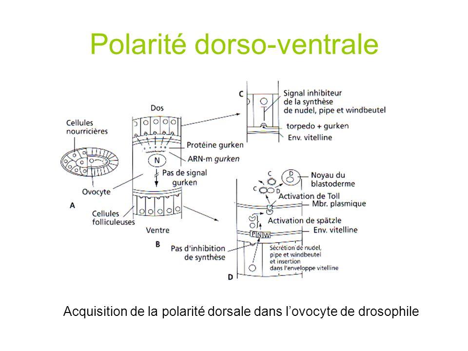 Expression du plan de développement chez lembryon de drosophile
