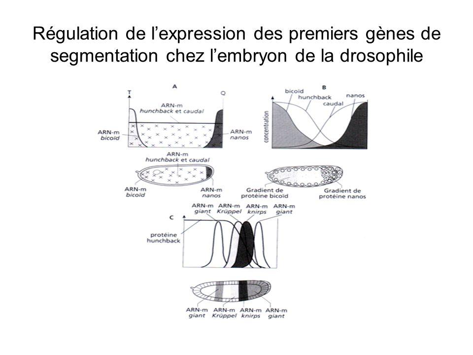 Expression des gènes homéotiques Lexpression des gènes homéotiques est régulée par des protéines codées antérieurement par des gènes « gap » ou « pair-rule ».