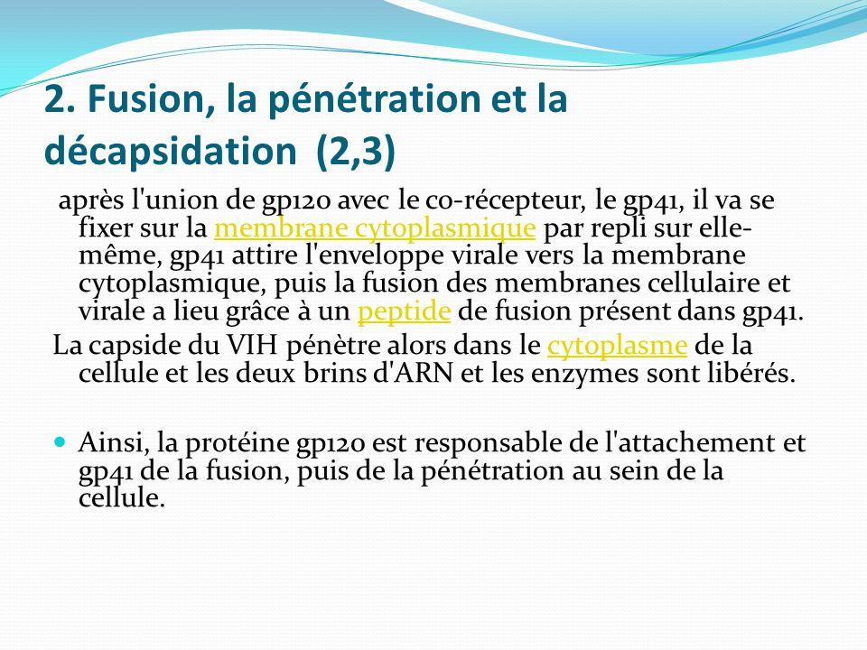 2. Fusion, la pénétration et la décapsidation (2,3) après l'union de gp120 avec le co-récepteur, le gp41, il va se fixer sur la membrane cytoplasmique