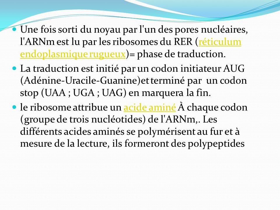 Une fois sorti du noyau par l'un des pores nucléaires, l'ARNm est lu par les ribosomes du RER (réticulum endoplasmique rugueux)= phase de traduction.r