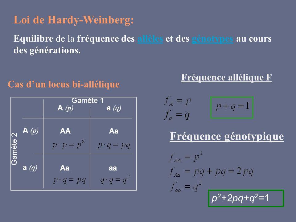 Fréquence allélique F Loi de Hardy-Weinberg: Equilibre de la fréquence des allèles et des génotypes au cours des générations.allèlesgénotypes Gamète 1