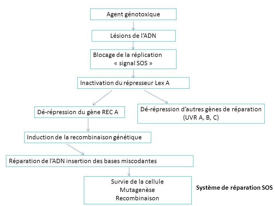 Agent génotoxique Lésions de lADN Blocage de la réplication « signal SOS » Inactivation du répresseur Lex A Dé-répression dautres gènes de réparation