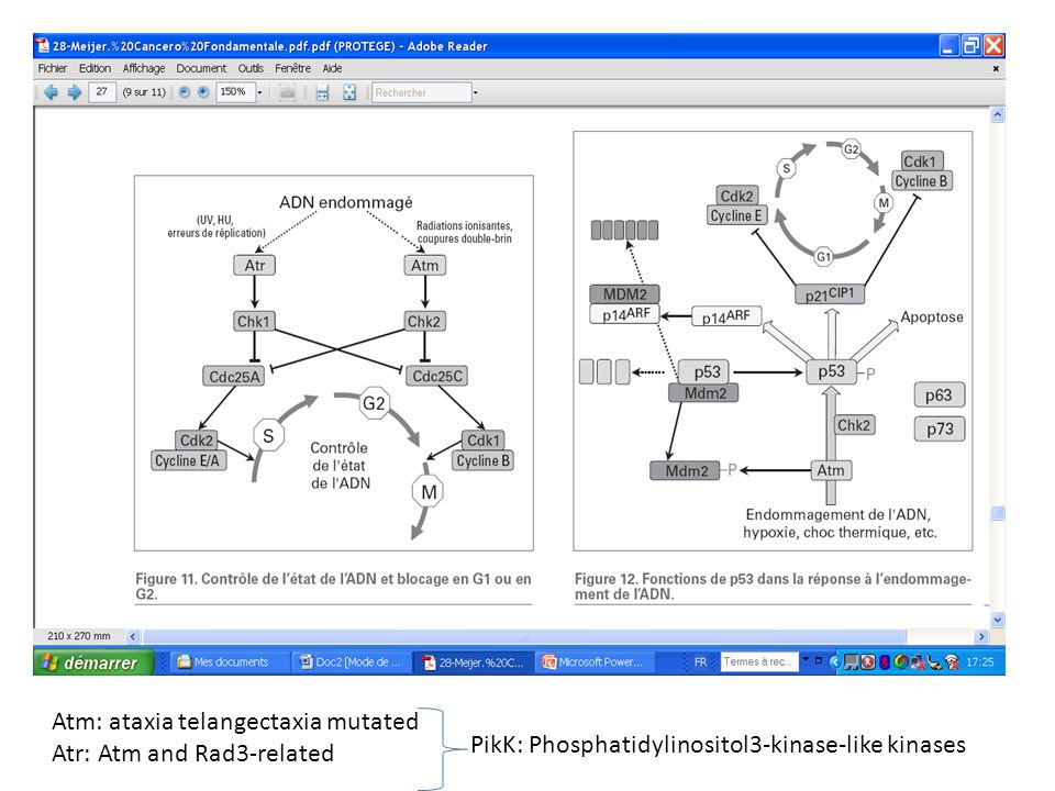 Atm: ataxia telangectaxia mutated Atr: Atm and Rad3-related PikK: Phosphatidylinositol3-kinase-like kinases