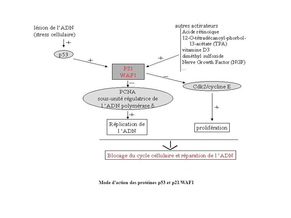 Mode d'action des protéines p53 et p21/WAF1