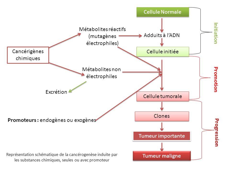 Cancérigènes chimiques Métabolites réactifs (mutagènes électrophiles) Métabolites non électrophiles Cellule Normale Adduits à lADN Cellule initiée Cel