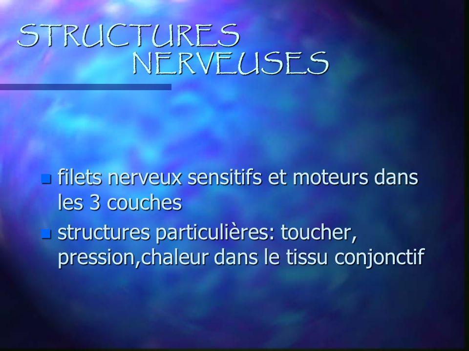 STRUCTURES NERVEUSES n filets nerveux sensitifs et moteurs dans les 3 couches n structures particulières: toucher, pression,chaleur dans le tissu conj