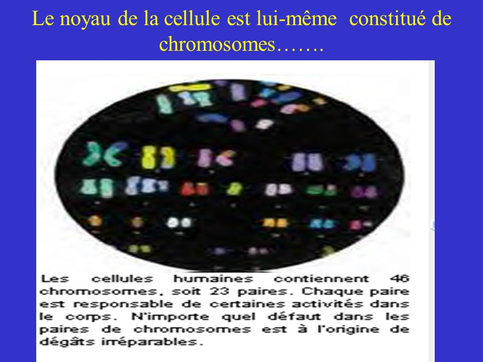 Le noyau de la cellule est lui-même constitué de chromosomes…….