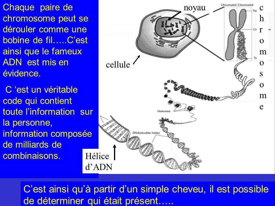 Chaque paire de chromosome peut se dérouler comme une bobine de fil…..Cest ainsi que le fameux ADN est mis en évidence. C est un véritable code qui co