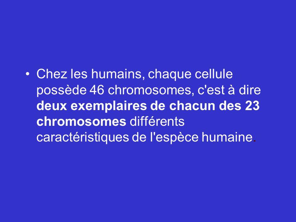 Chez les humains, chaque cellule possède 46 chromosomes, c'est à dire deux exemplaires de chacun des 23 chromosomes différents caractéristiques de l'e