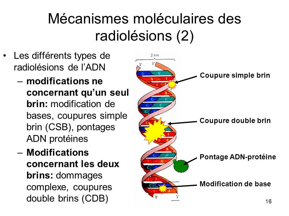 16 Mécanismes moléculaires des radiolésions (2) Les différents types de radiolésions de lADN –modifications ne concernant quun seul brin: modification de bases, coupures simple brin (CSB), pontages ADN protéines –Modifications concernant les deux brins: dommages complexe, coupures double brins (CDB) Coupure simple brin Coupure double brin Pontage ADN-protéine Modification de base