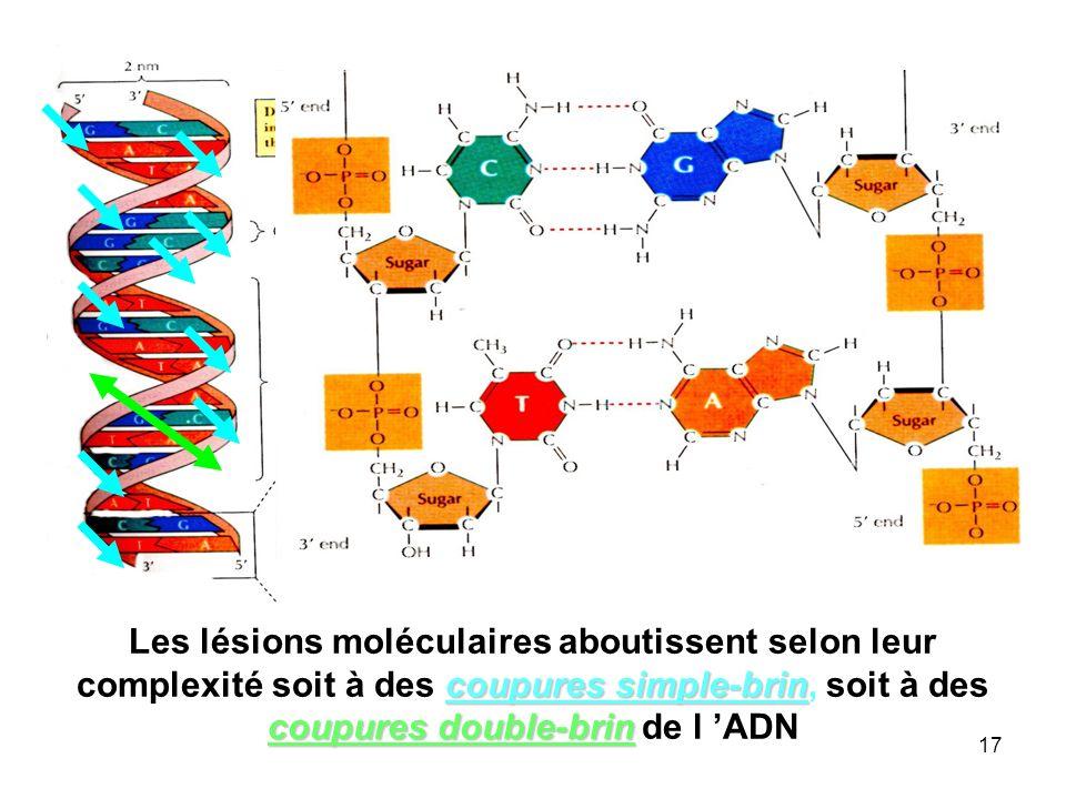 17 coupures simple-brin coupures double-brin Les lésions moléculaires aboutissent selon leur complexité soit à des coupures simple-brin, soit à des coupures double-brin de l ADN