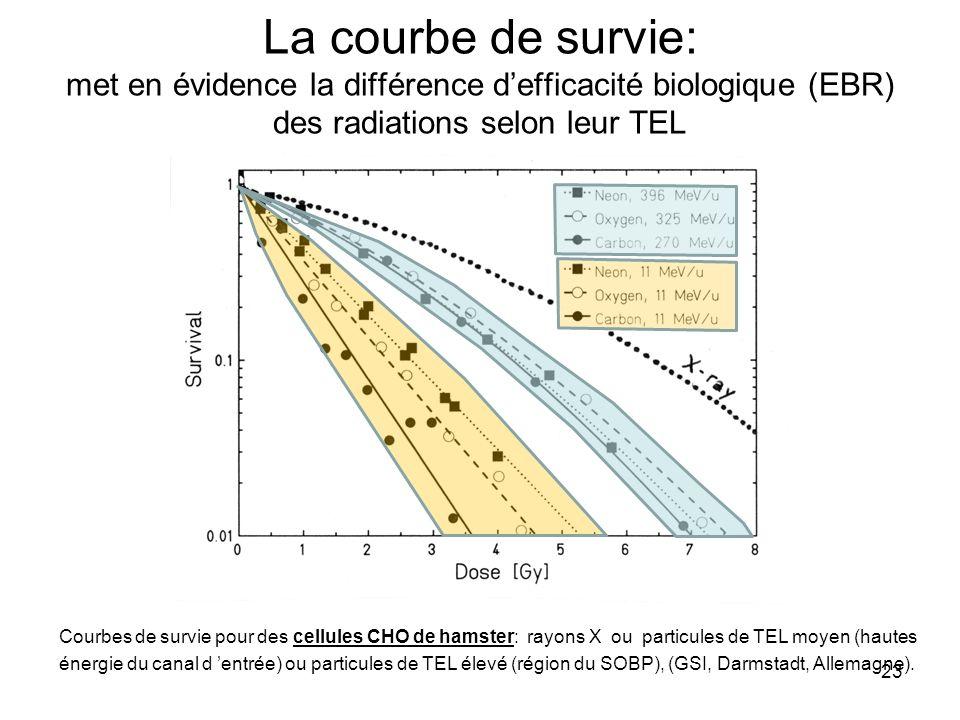23 La courbe de survie: met en évidence la différence defficacité biologique (EBR) des radiations selon leur TEL Courbes de survie pour des cellules CHO de hamster: rayons X ou particules de TEL moyen (hautes énergie du canal d entrée) ou particules de TEL élevé (région du SOBP), (GSI, Darmstadt, Allemagne).