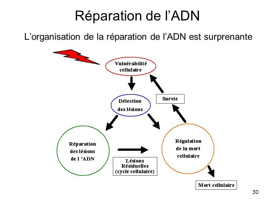 30 Réparation de lADN Lorganisation de la réparation de lADN est surprenante