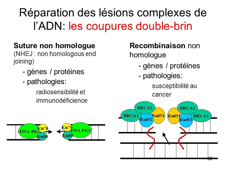 32 Réparation des lésions complexes de lADN: les coupures double-brin Suture non homologue (NHEJ : non homologous end joining) - gènes / protéines - pathologies: radiosensibilité et immunodéficience Recombinaison non homologue - gènes / protéines - pathologies: susceptibilité au cancer