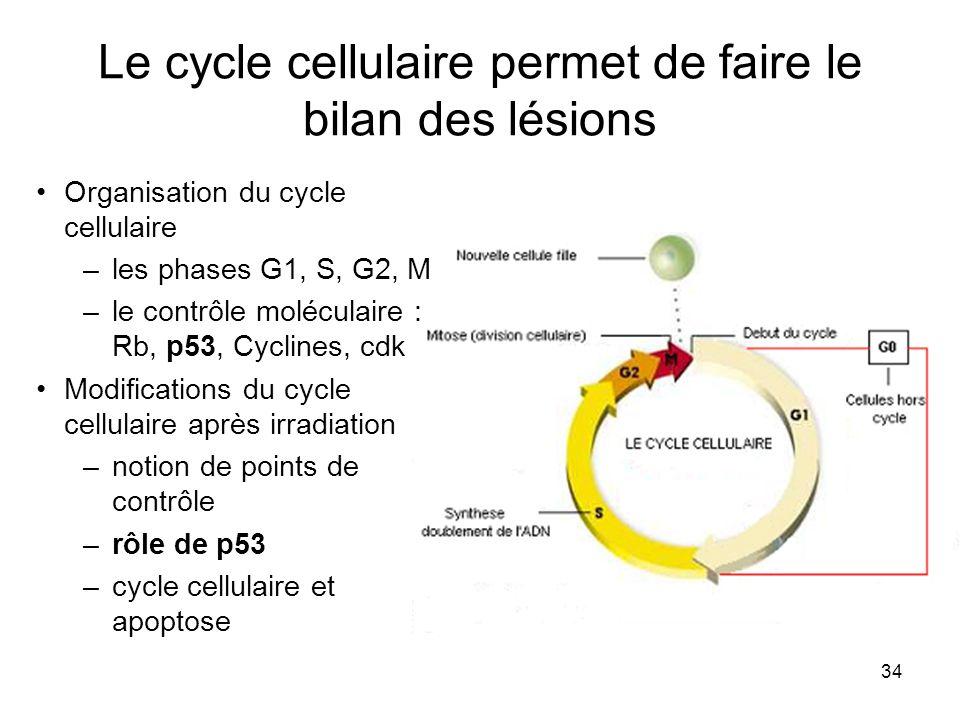 34 Le cycle cellulaire permet de faire le bilan des lésions Organisation du cycle cellulaire –les phases G1, S, G2, M –le contrôle moléculaire : Rb, p53, Cyclines, cdk Modifications du cycle cellulaire après irradiation –notion de points de contrôle –rôle de p53 –cycle cellulaire et apoptose