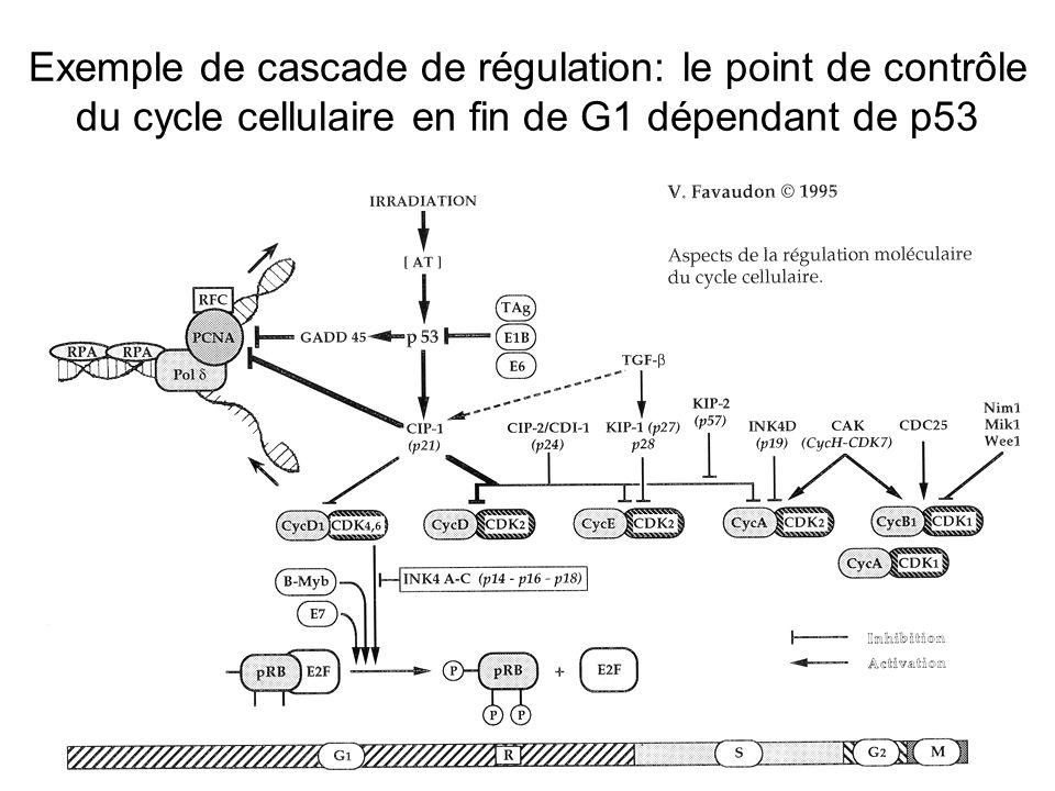 35 Exemple de cascade de régulation: le point de contrôle du cycle cellulaire en fin de G1 dépendant de p53
