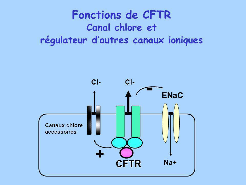 Fonctions de CFTR Canal chlore et régulateur dautres canaux ioniques - Cl- CFTR Canaux chlore accessoires ENaC + Na+ Cl-