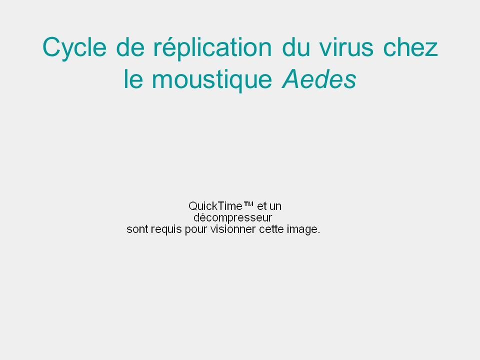 Cycle de réplication du virus chez le moustique Aedes