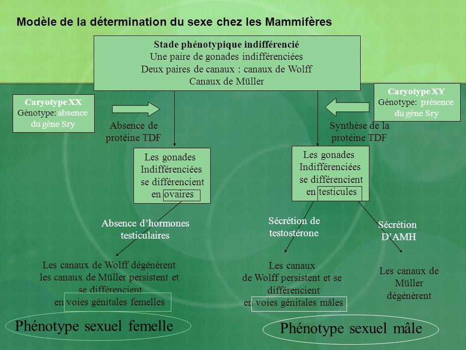 Modèle de la détermination du sexe chez les Mammifères Stade phénotypique indifférencié Une paire de gonades indifférenciées Deux paires de canaux : c