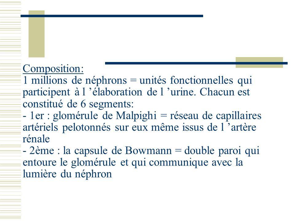 Composition: 1 millions de néphrons = unités fonctionnelles qui participent à l élaboration de l urine. Chacun est constitué de 6 segments: - 1er : gl