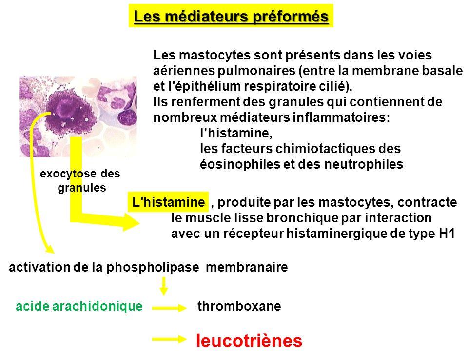 Les médiateurs préformés Les mastocytes sont présents dans les voies aériennes pulmonaires (entre la membrane basale et l'épithélium respiratoire cili