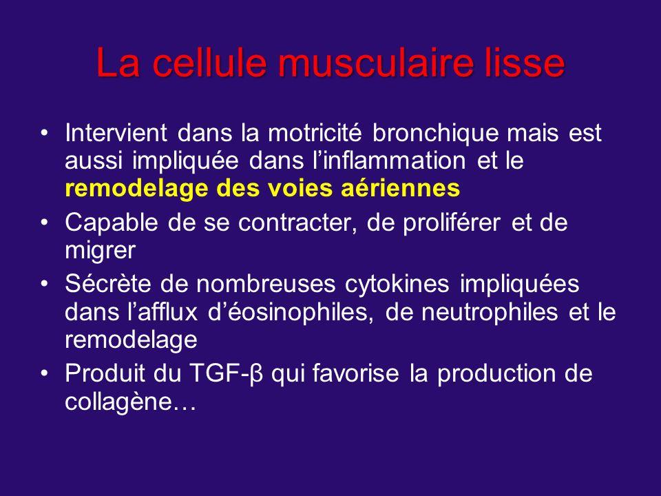 La cellule musculaire lisse Intervient dans la motricité bronchique mais est aussi impliquée dans linflammation et le remodelage des voies aériennes C