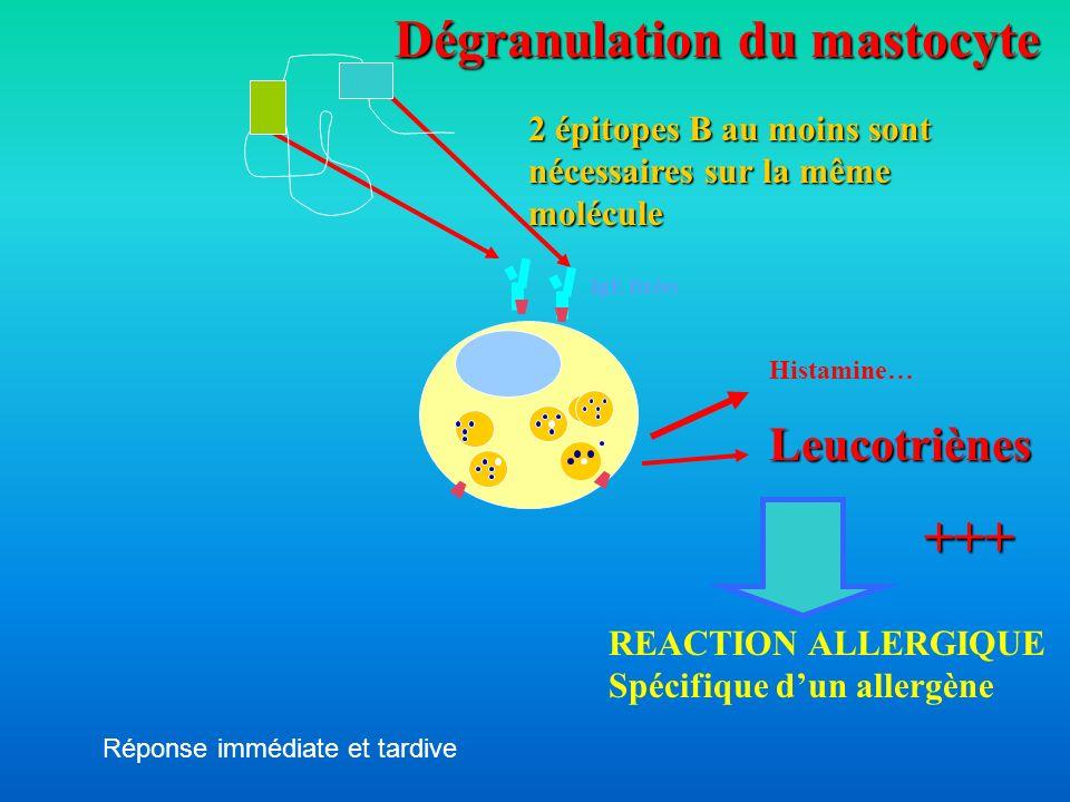 REACTION ALLERGIQUE Spécifique dun allergène IgE fixées 2 épitopes B au moins sont nécessaires sur la même molécule Dégranulation du mastocyte Histami