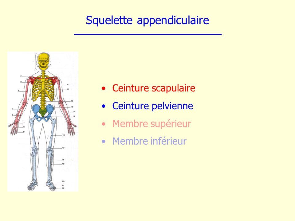 Squelette appendiculaire Ceinture scapulaire Ceinture pelvienne Membre supérieur Membre inférieur