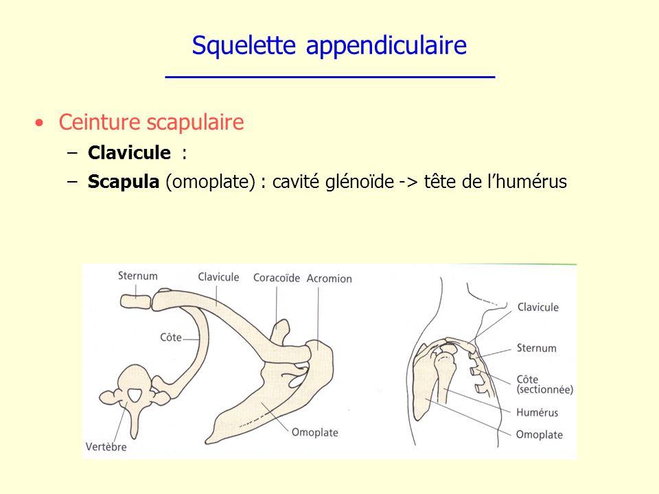 Squelette appendiculaire Ceinture scapulaire –Clavicule : –Scapula (omoplate) : cavité glénoïde -> tête de lhumérus