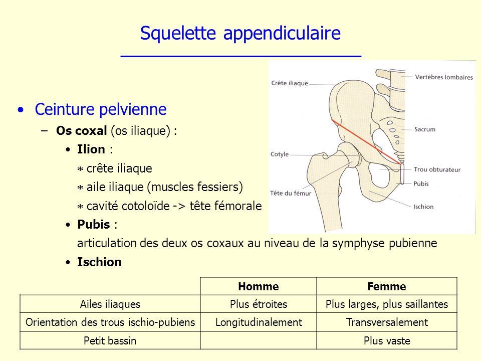 Squelette appendiculaire Ceinture pelvienne –Os coxal (os iliaque) : Ilion : crête iliaque aile iliaque (muscles fessiers) cavité cotoloïde -> tête fé