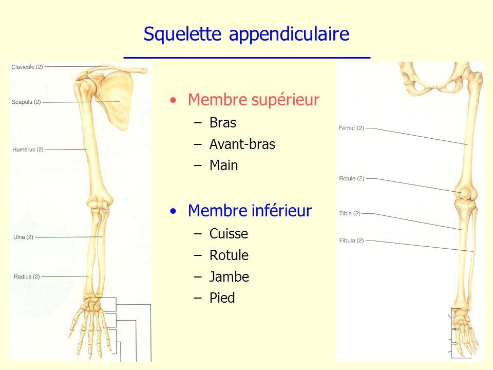 Squelette appendiculaire Membre supérieur –Bras –Avant-bras –Main Membre inférieur –Cuisse –Rotule –Jambe –Pied
