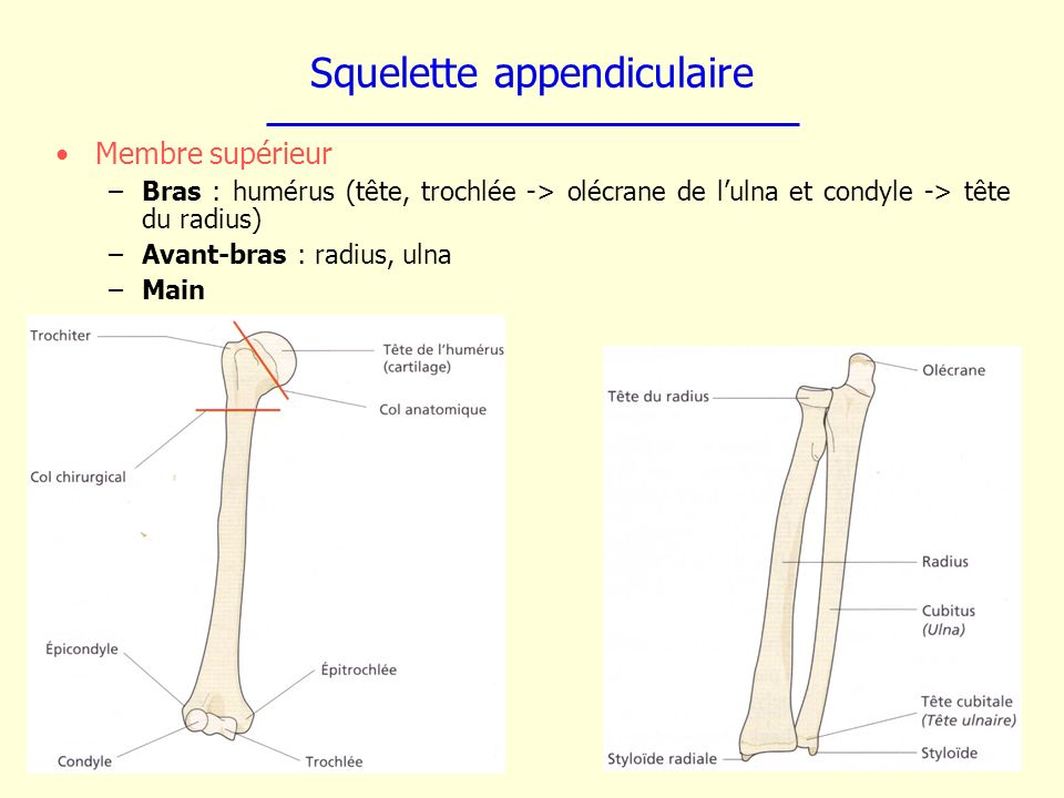 Squelette appendiculaire Membre supérieur –Bras : humérus (tête, trochlée -> olécrane de lulna et condyle -> tête du radius) –Avant-bras : radius, uln