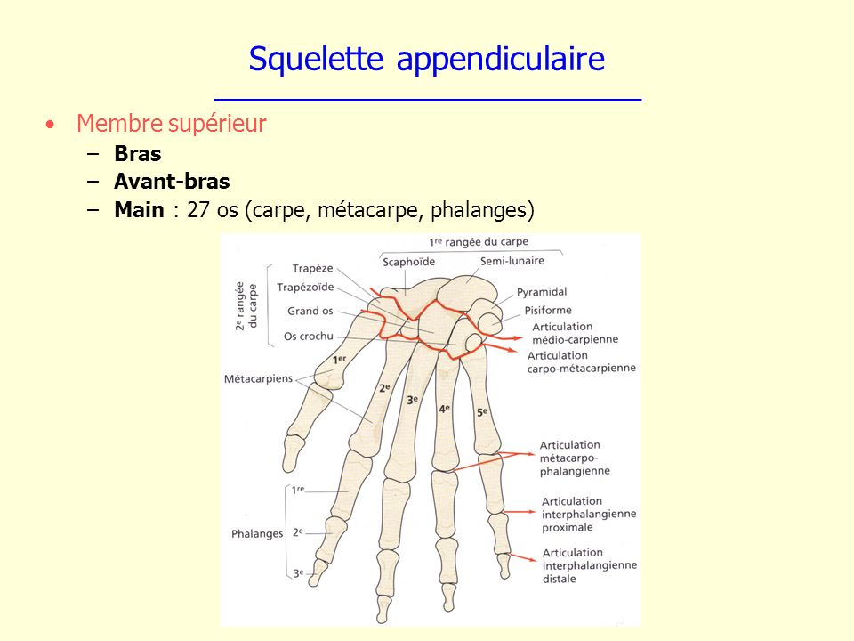 Squelette appendiculaire Membre supérieur –Bras –Avant-bras –Main : 27 os (carpe, métacarpe, phalanges)