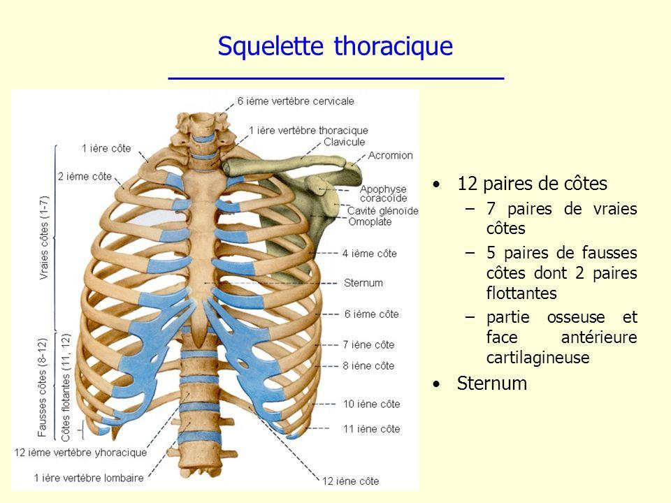 Squelette thoracique 12 paires de côtes –7 paires de vraies côtes –5 paires de fausses côtes dont 2 paires flottantes –partie osseuse et face antérieu