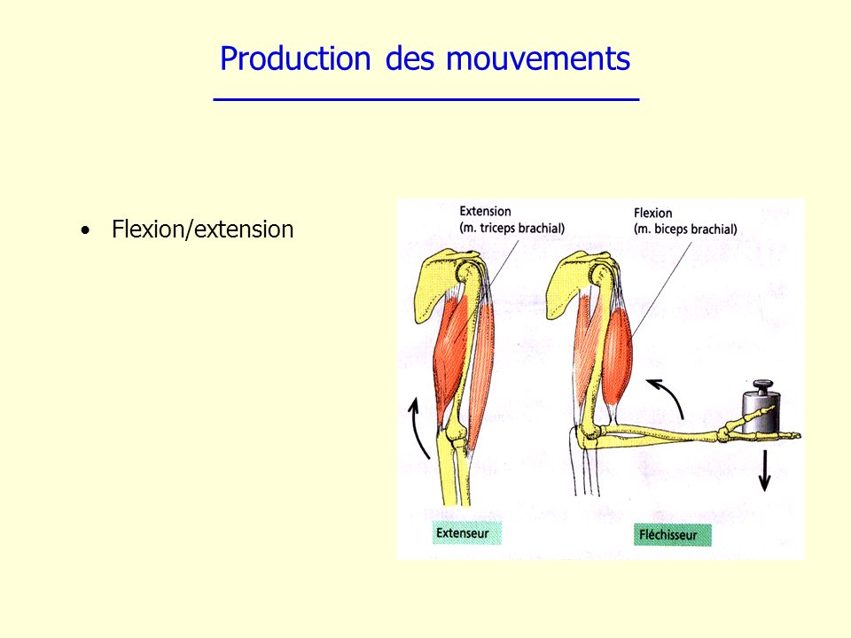 Production des mouvements Flexion/extension