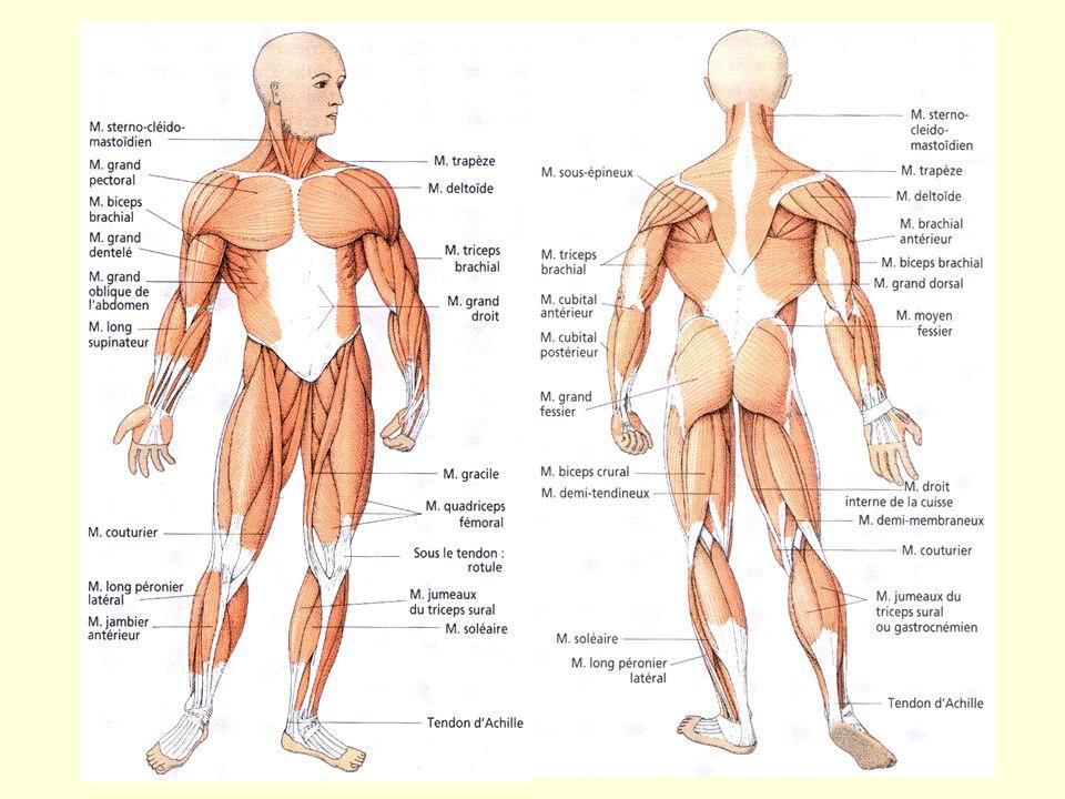 Principaux muscles squelettiques