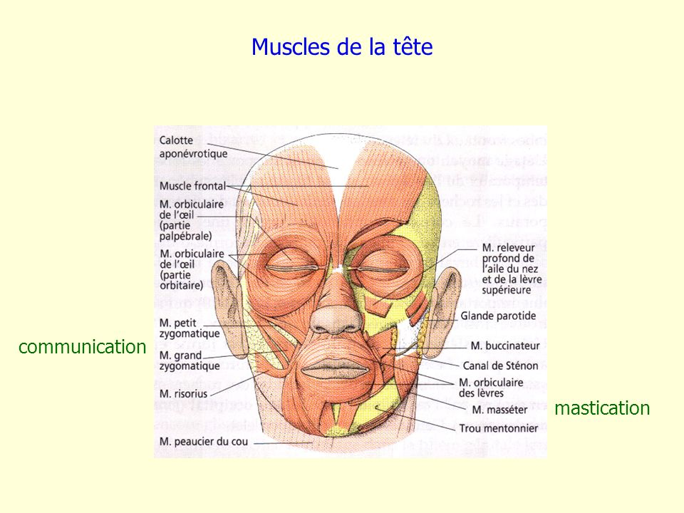 Muscles de la tête mastication communication