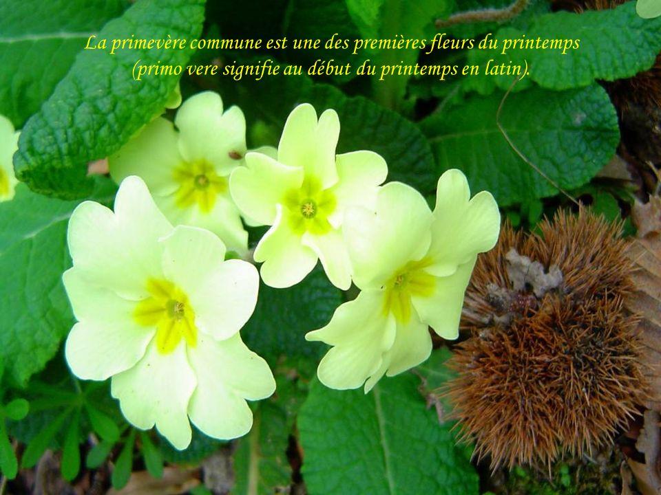 La primevère commune est une des premières fleurs du printemps (primo vere signifie au début du printemps en latin).