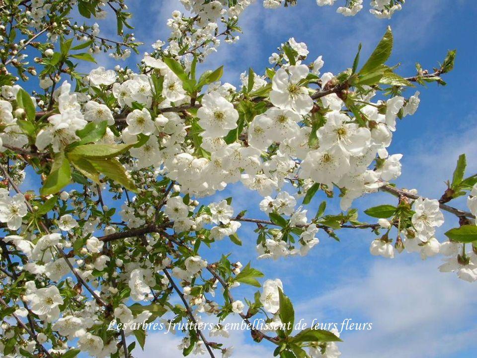 Les arbres fruitiers sembellissent de leurs fleurs