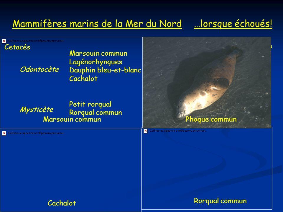 Mammifères marins de la Mer du Nord Cetacés Marsouin commun Lagénorhynques Dauphin bleu-et-blanc Cachalot Petit rorqual Rorqual commun PinnipèdesPhoqu