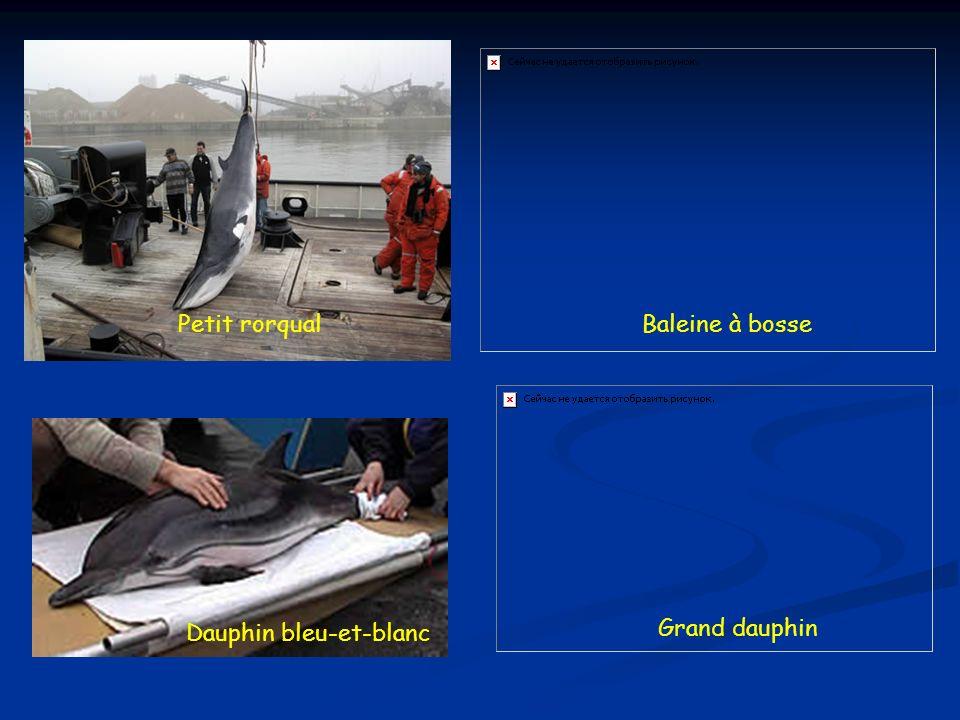 Petit rorqualBaleine à bosse Dauphin bleu-et-blanc Grand dauphin