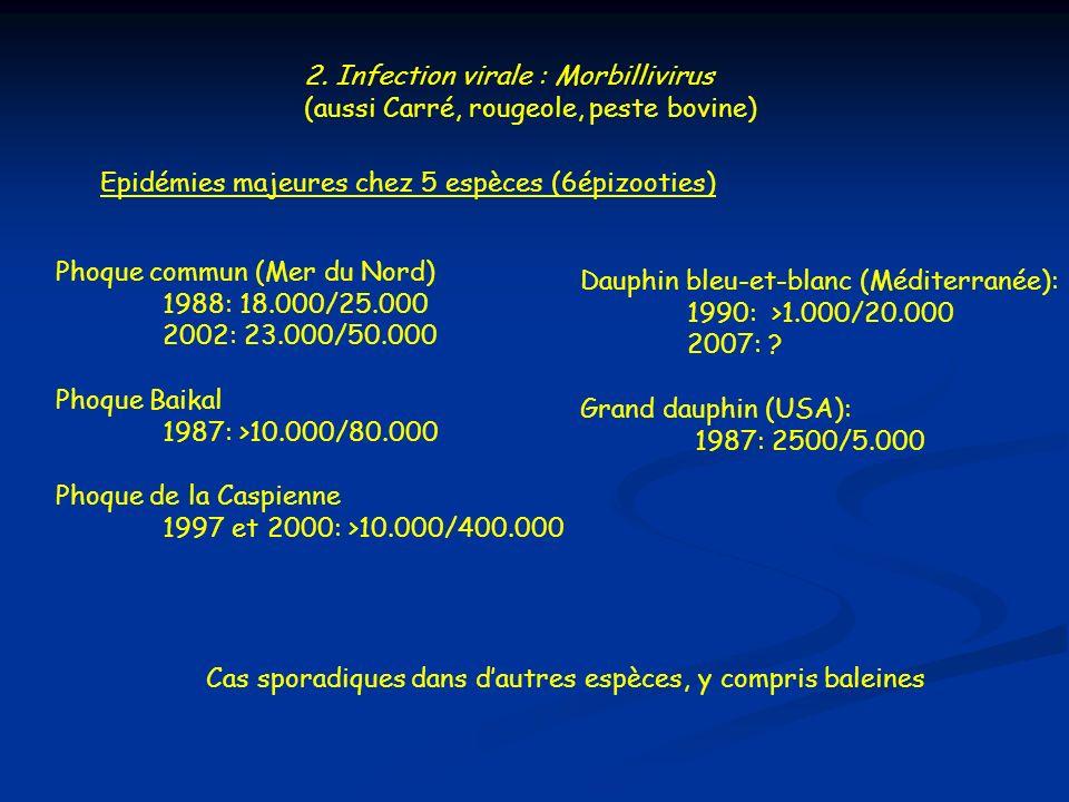 2. Infection virale : Morbillivirus (aussi Carré, rougeole, peste bovine) Epidémies majeures chez 5 espèces (6épizooties) Phoque commun (Mer du Nord)