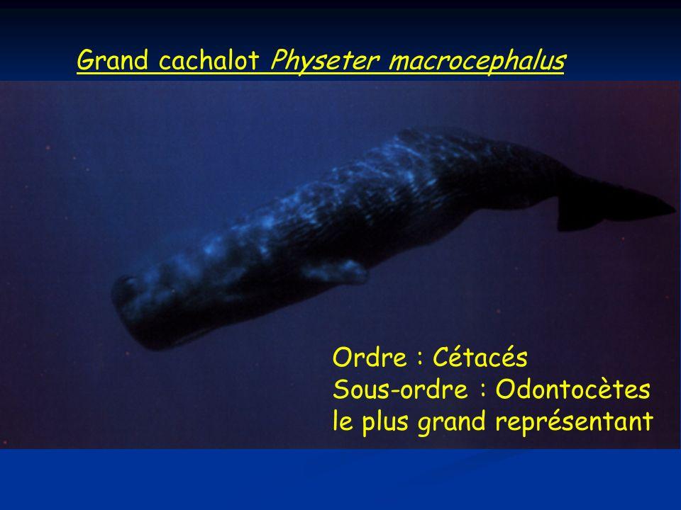 Ordre : Cétacés Sous-ordre : Odontocètes le plus grand représentant Grand cachalot Physeter macrocephalus