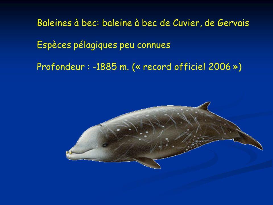 Baleines à bec: baleine à bec de Cuvier, de Gervais Espèces pélagiques peu connues Profondeur : -1885 m.