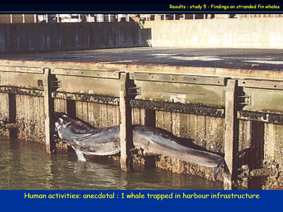 Fin whales First description of morbillivirus infection and associated lesions in baleen whale Severe lymphoid depletion Causes of death and human activities impacts 2 others fin whales necropsied (stranded and trapped in harbour): no evidence of morbillivirus infection Sperm whale : death results of stranding responsible for cardiovascular failure Fin whale : role of morbillivirus .